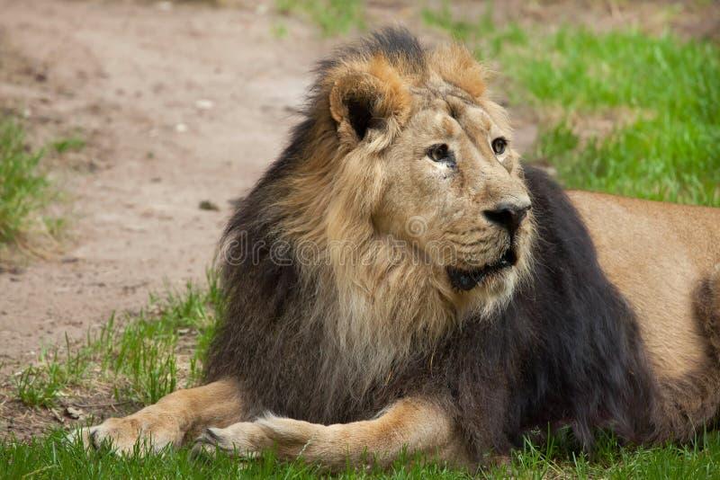 Азиатский лев & x28; Persica& x29 leo пантеры; стоковое фото