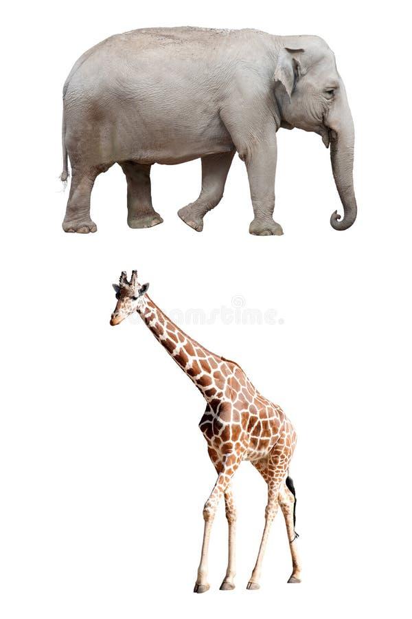 Азиатский изолированные слон и жираф стоковые фото