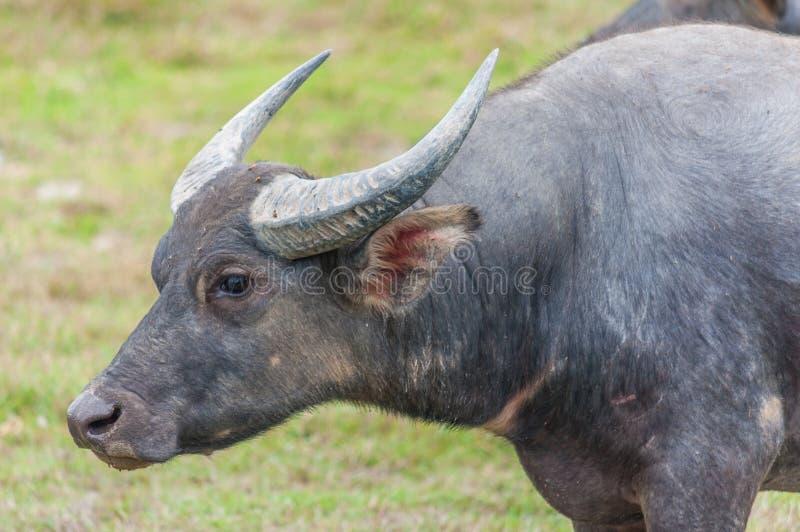 Азиатский индийский буйвол на поле стоковая фотография rf