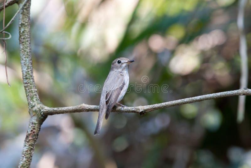 азиатский коричневый flycatcher стоковые фото