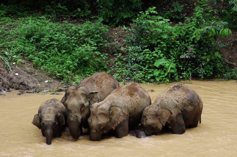 азиатский слон одичалый стоковые фотографии rf