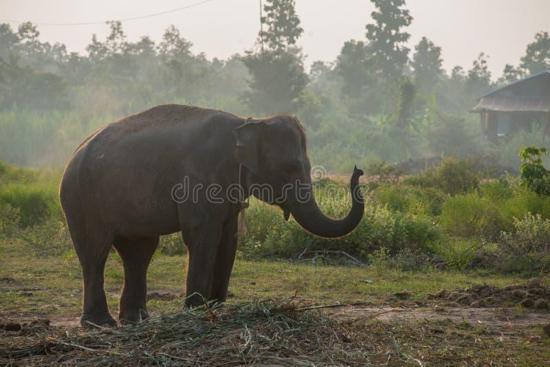 Азиатский слон в лесе, surin, Таиланд стоковая фотография rf