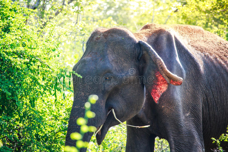 Азиатский слон есть breakgfast рано утром в Udaw стоковое фото rf