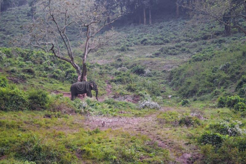 Азиатский слон кочуя в своей среде обитания стоковые изображения rf