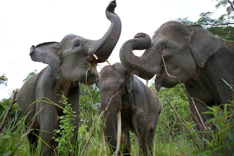 Азиатский слон 3 стоя совместно Индонезия sumatra Национальный парк Kambas пути стоковая фотография rf