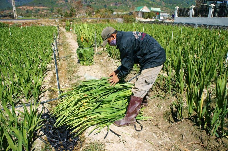 Азиатский фермер, въетнамская плантация, цветок гладиолуса стоковое изображение