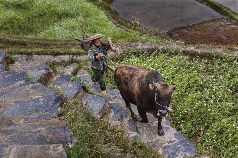 Азиатский фермер держа быка коричневого цвета уздечки, взбираться гористый стоковые изображения rf