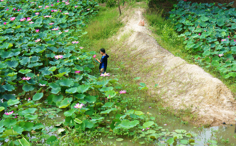 Азиатский цветок лотоса рудоразборки фермера, пруд флоры стоковое изображение