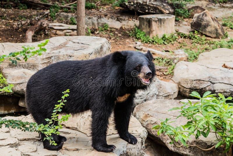 Азиатский черный медведь с комодом в-образность белые шерсть/близок вверх по азиатскому черному медведю ослабить летом стоковые фото