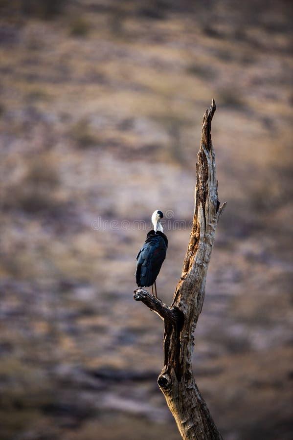 Азиатский шерстист-necked аист или азиатские whitenecked пары птицы аиста на мертвом окуне дерева с красивой изолированной предпо стоковые изображения rf
