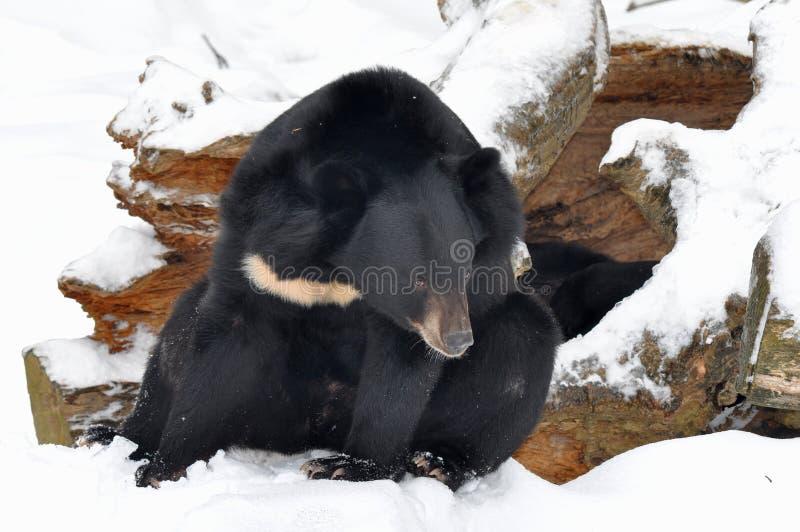 азиатское логово фронта черноты медведя стоковое фото rf