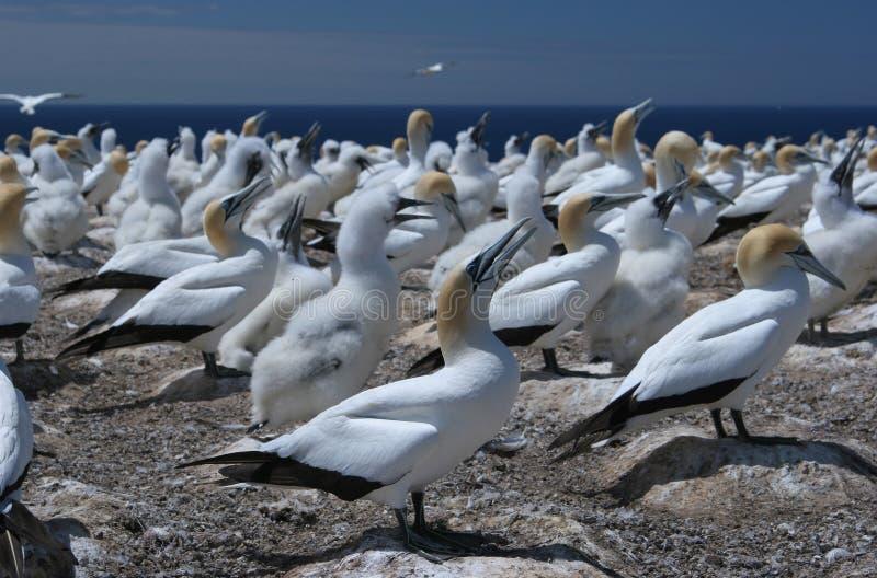 азиатское austral gannet колонии стоковое фото rf