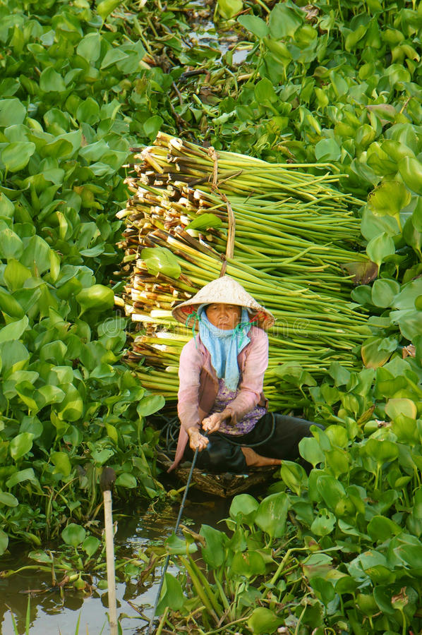 Азиатское hyacith воды сбора фермера стоковые фотографии rf
