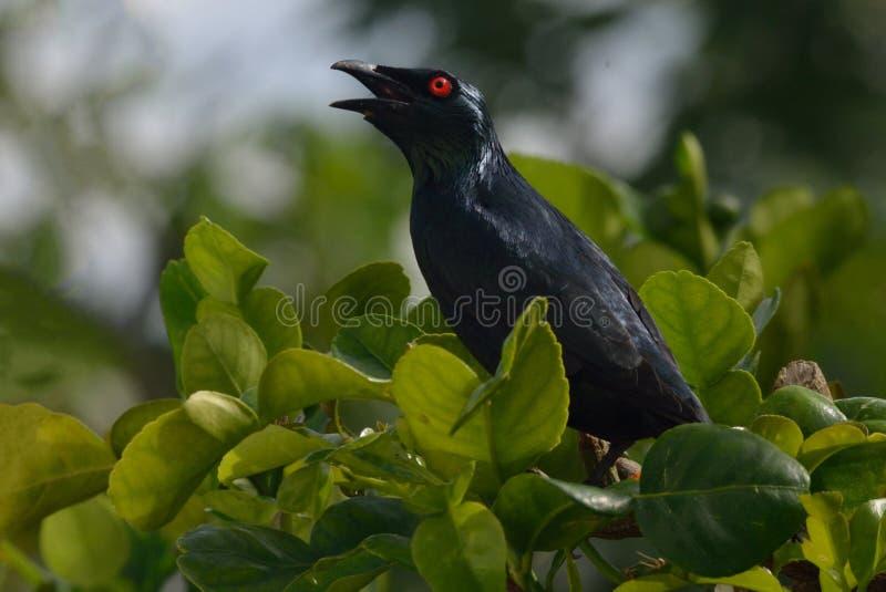 Азиат Starling на дереве стоковые изображения