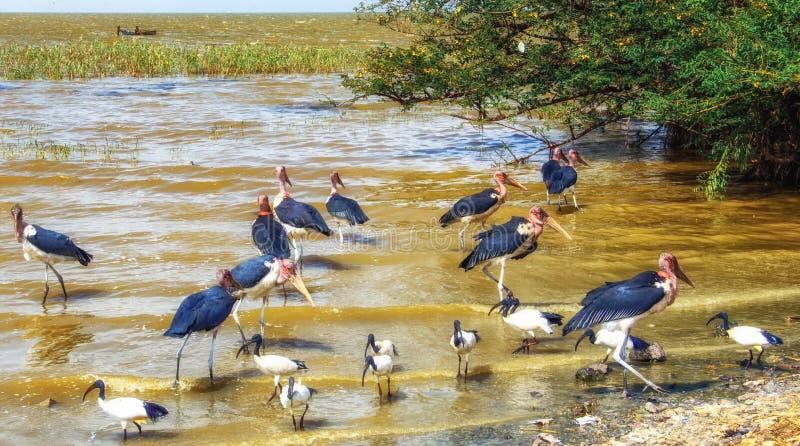 Аисты Marabou около озера в Эфиопии стоковое фото