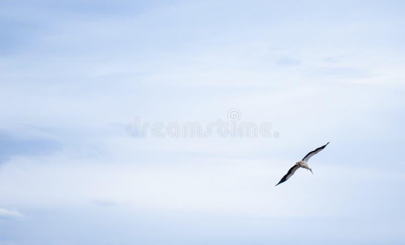 Аист в небе Красивый аист летая под голубым небом стоковые изображения rf