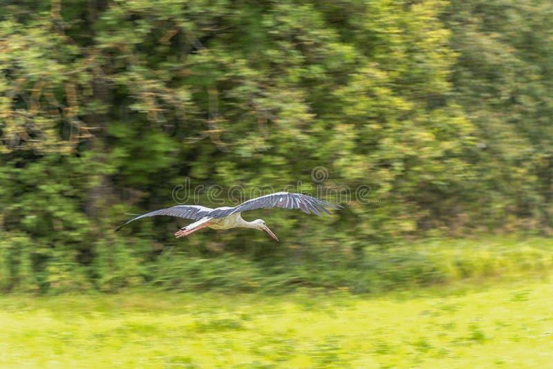 Аист летания над травой Дерево в предпосылке panning стоковое фото rf