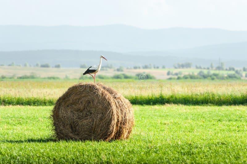 Аист на сухой связке сена стоковое фото rf