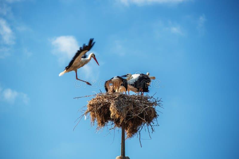 Аист с птицами младенца в гнезде стоковое фото rf