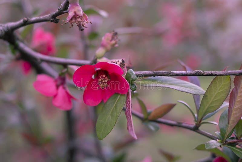 Айва Буш Японии с красными цветками цветя айва весной стоковые изображения