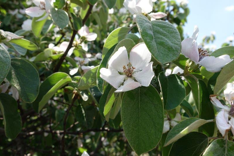 Айва во времени цветеня весной стоковые изображения rf