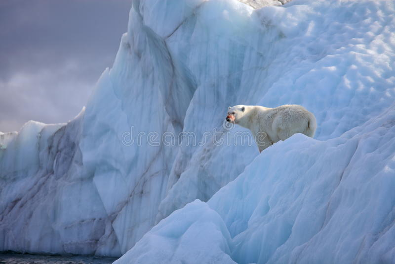 айсберг медведя приполюсный стоковые изображения