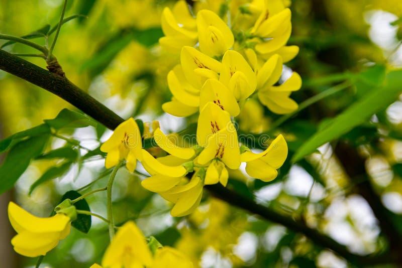 Акация или вяз цветенй желтые Мимоза, акация и другие заводы на ветви стоковое изображение rf
