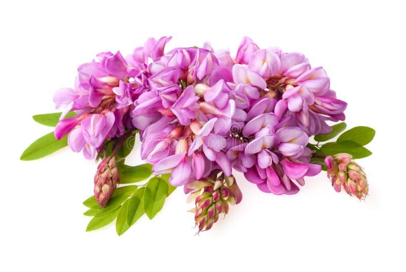 Акация с розовыми цветками Изолированный на белой съемке макроса студии стоковое фото