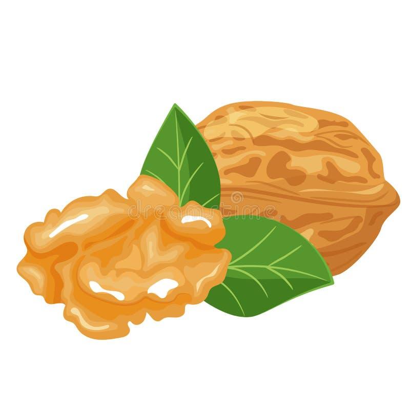 Акварель иллюстрации вектора грецких орехов нарисованная рукой покрашенная иллюстрация вектора