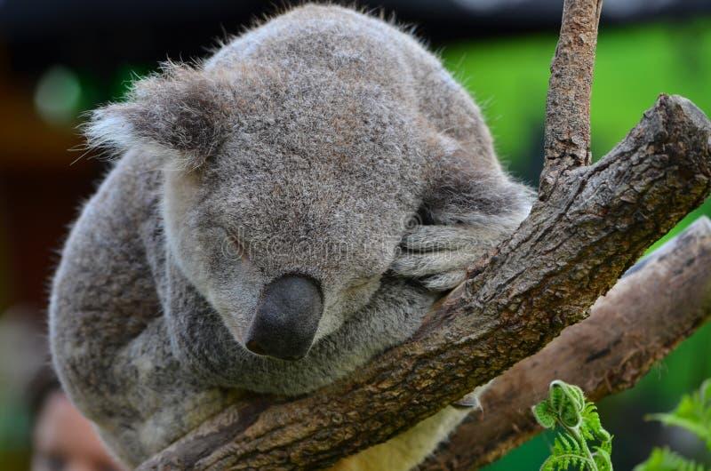 Аквариум Сиднея & одичалая жизнь - коала стоковое изображение rf