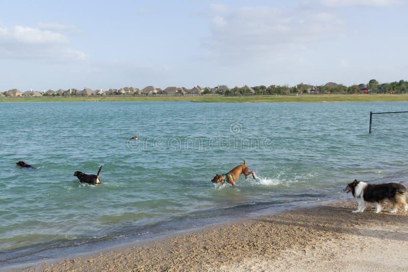 Акватическая собачья потеха на пляже парка собаки стоковое фото
