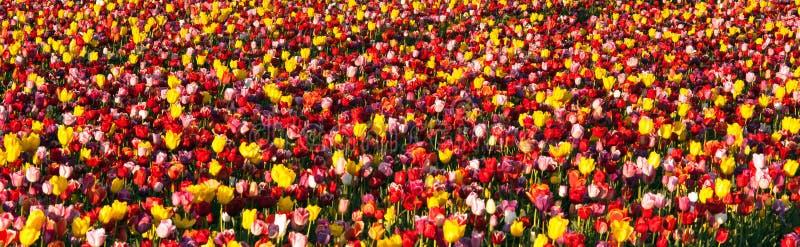 Аккуратные строки фермера цветков тюльпанов фермы шарика красочного стоковое изображение
