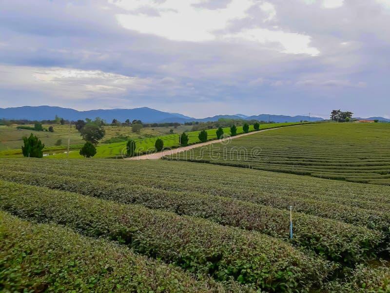 Акры плантаций чая стоковое изображение