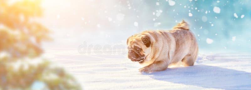 Активная собака мопса бежать в глубоком снеге Зима идет с изображением концепции любимцев заречье moscow один панорамный взгляд стоковое фото