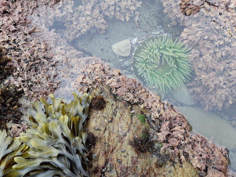 Актиния поглощенная в бассейне малой воды стоковые изображения rf