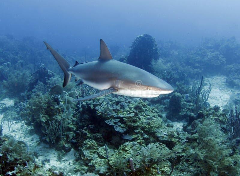 акула карибского рифа Гондураса большого roatan стоковые изображения