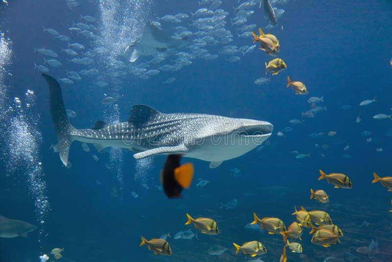 Акула кита стоковая фотография