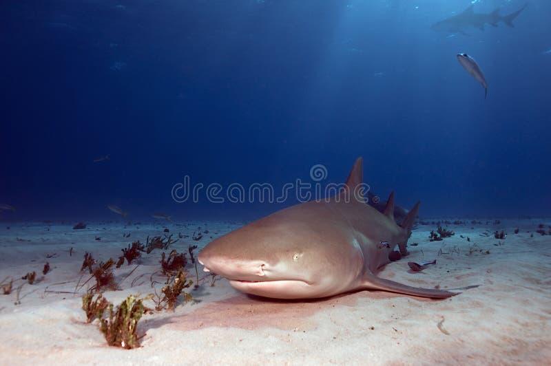 акула лимона отдыхая стоковая фотография