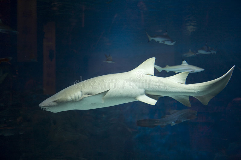 акула стоковое изображение rf