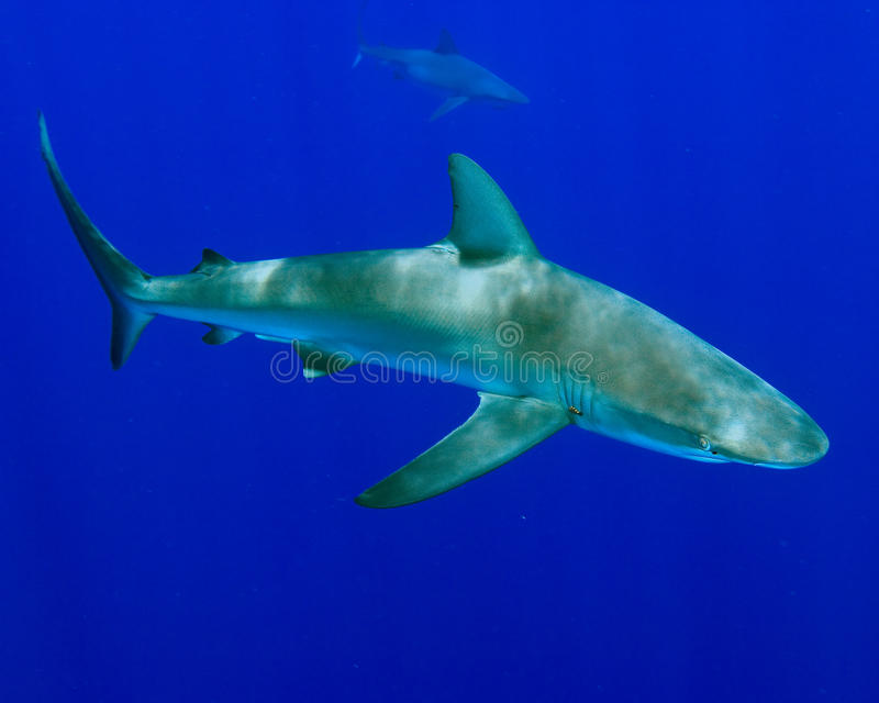 акула galapagos стоковое фото