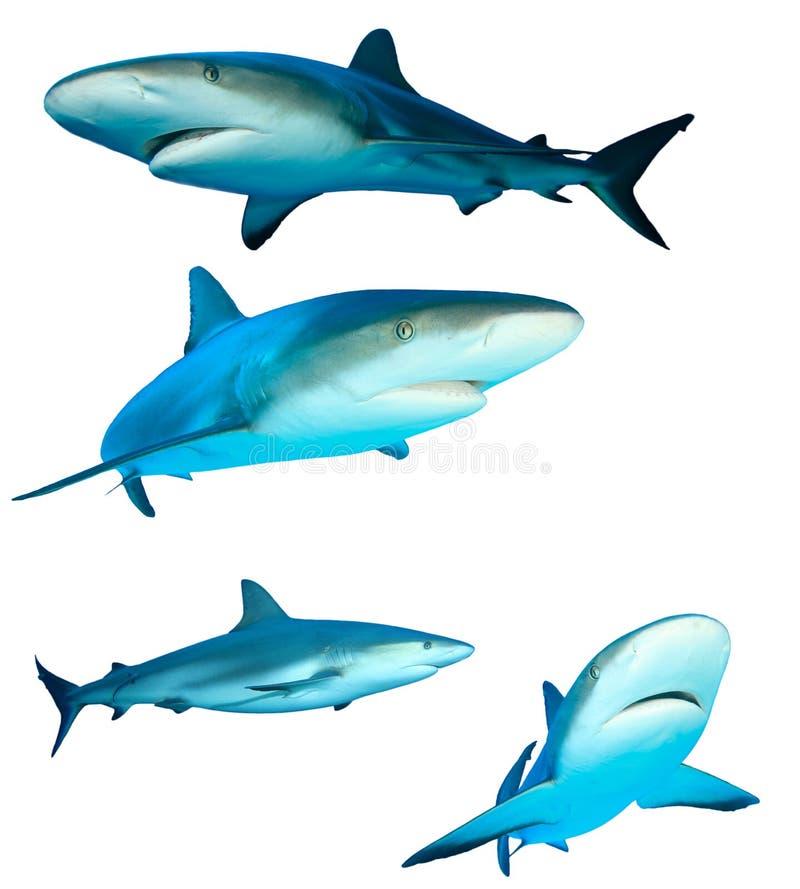 акулы стоковая фотография