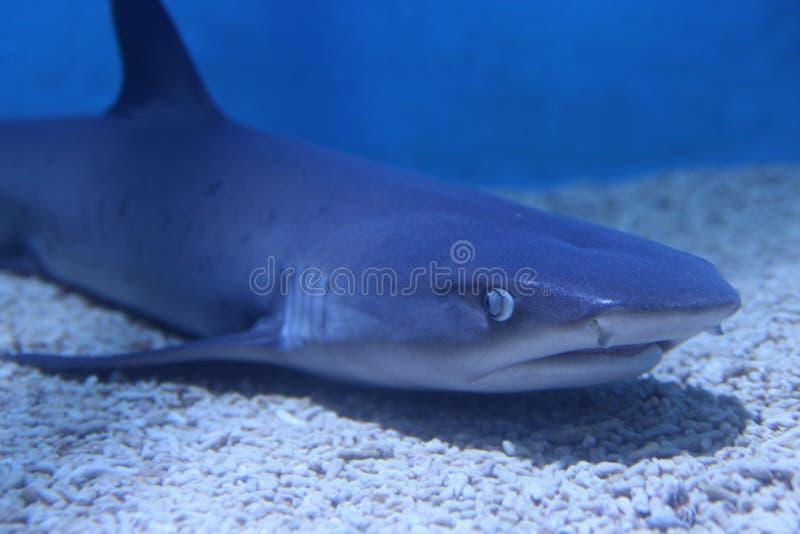 Акула в покое в открытом море стоковое фото rf