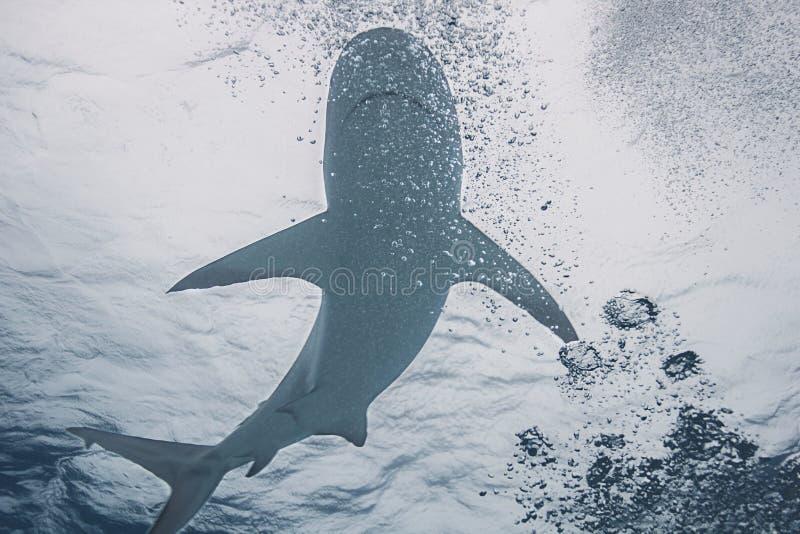 Акула в пузыре стоковые изображения rf