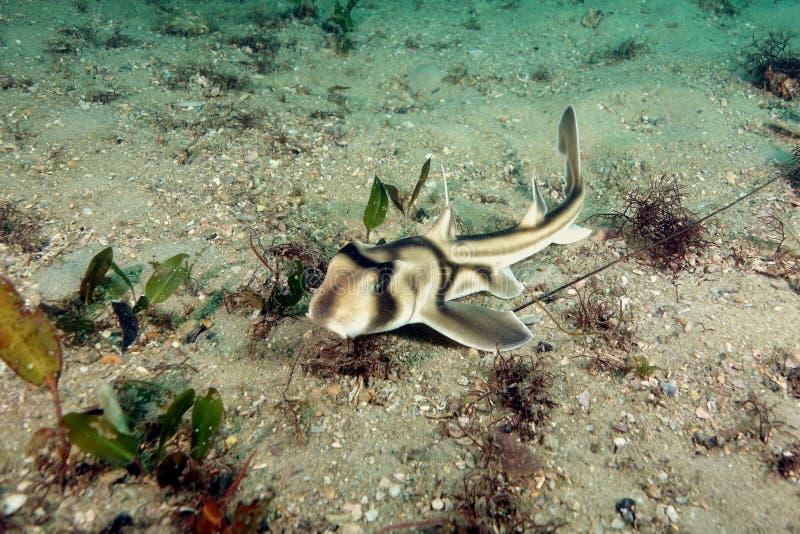 Акула Джексона порта младенца стоковые фото