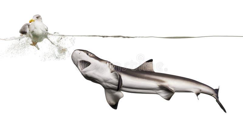 Акула охотясь чайка стоковое изображение rf