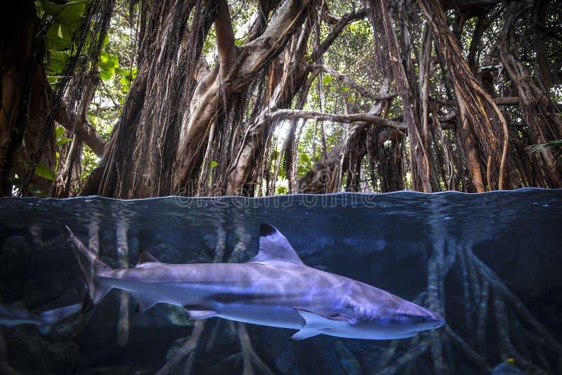 Акула mako Shortfin стоковое изображение