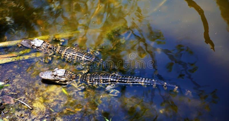 Аллигаторы младенца отдыхая в болотистые низменности pond вдоль соединения Монро стоковое изображение rf