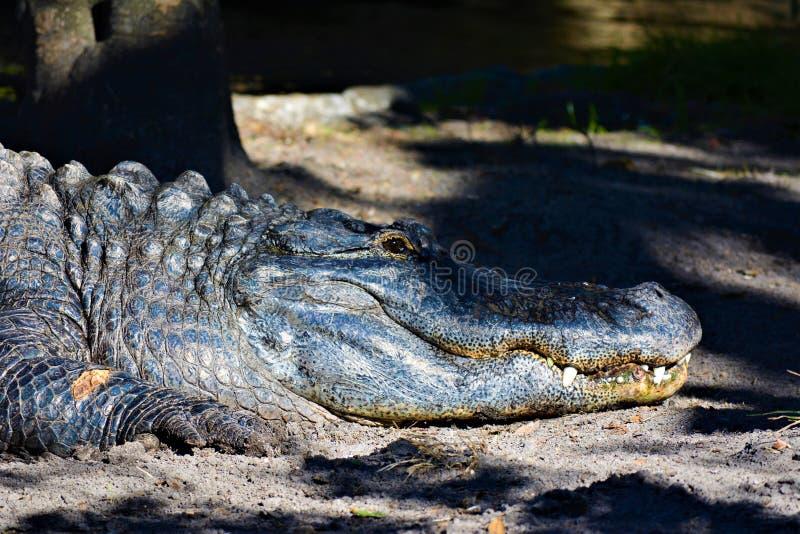 Аллигатор вне для того чтобы получить некоторое солнце стоковые изображения