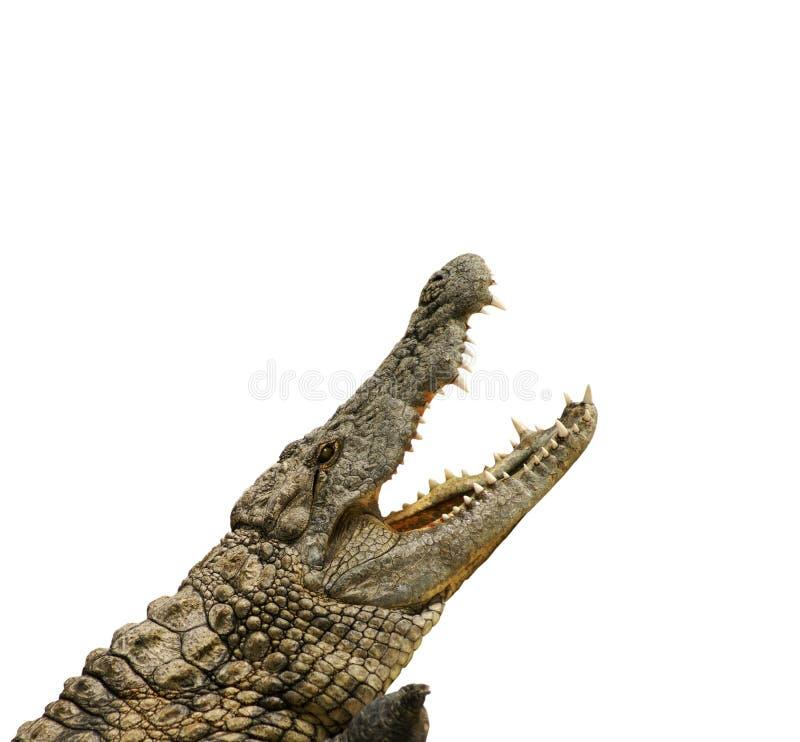 аллигатор ест хочет стоковое изображение rf
