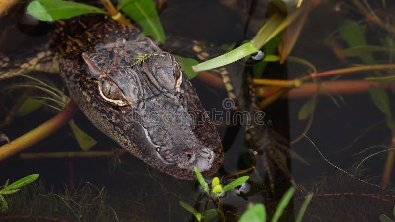 Аллигатор младенца в болоте в Louisianna стоковые изображения rf